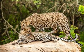 leopards two